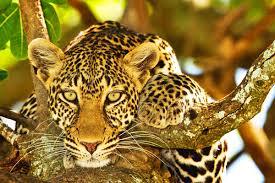 Leopard-sere