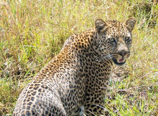 a-leopard-in-serengeti