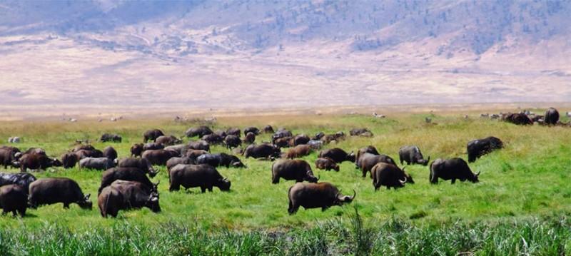 buffalo_hippo