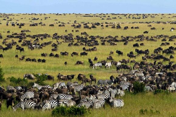 masai-mara-wildebeest-migration